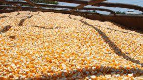 Industria de piensos comprará más de un millón de quintales de maíz de la zafra nacional