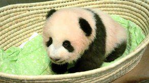 Bautizan a cría de panda de Japón: Xiang Xiang
