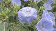 Las nuevas especies, que el estudio sugiere que son relativamente raras, han sido nombradas como Jacquemontia boliviana, cuspidata, longipedunculata, mairae y chuquisacensis.