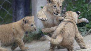 Nacen 3 crías de león del Atlas en un zoo checo