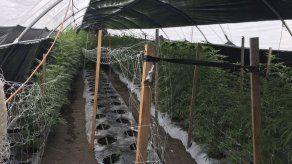 California: Mayoría de detenidos por marihuana son hispanos