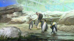 Pareja de pingüinos macho adoptan un huevo