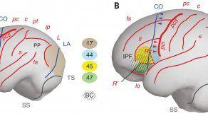 Dado que el cerebro no se fosiliza, la única forma de observar su evolución es estudiar las marcas que dejaron en el interior del cráneo.