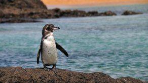 Expectativa de vida del pingüino de Galápagos es mayor a la que se pensaba