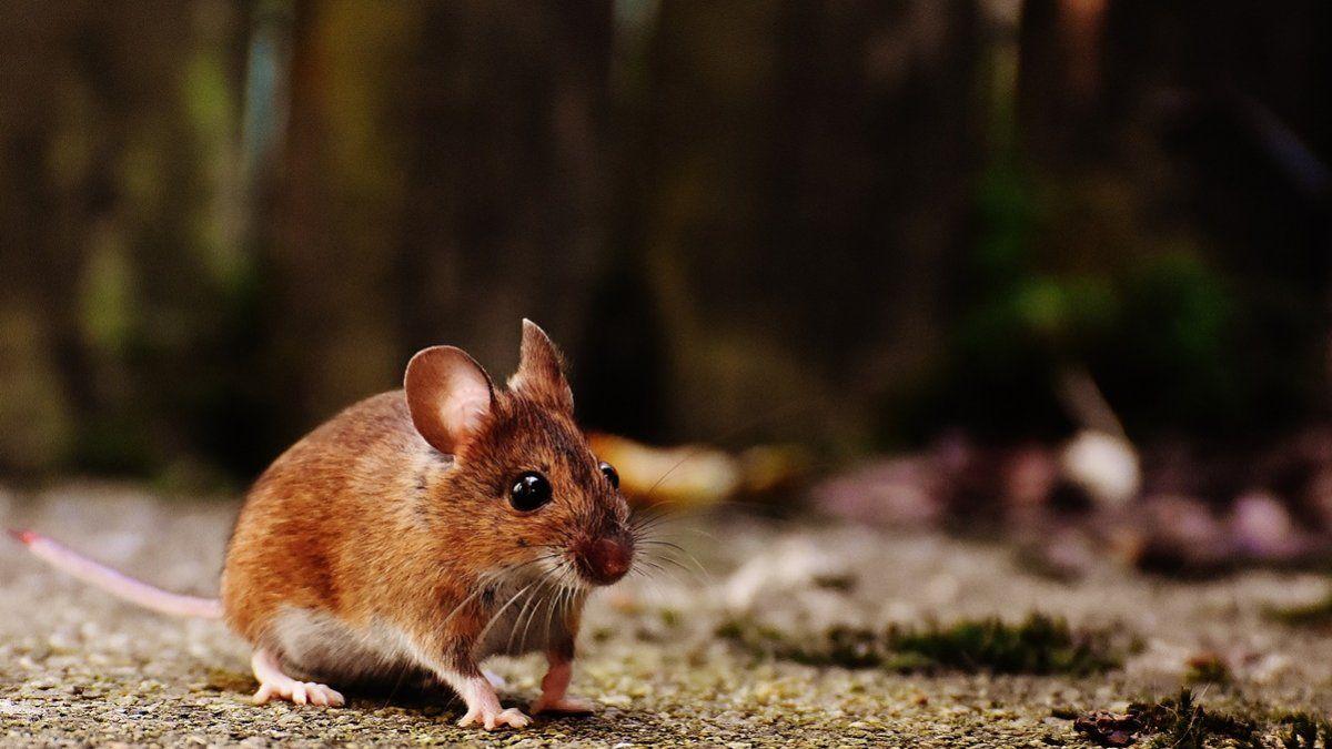 El Minsa le pide a la población extremar medidas para evitar la propagación del hantavirus provocada por roedores.