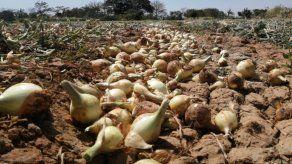 83 mil quintales de cebolla se cosecharán en Coclé en la zafra 2019-2020