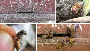Las abejas usan excrementos para defenderse del avispón