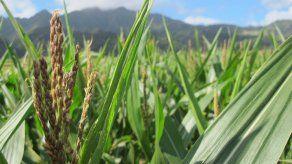 Chicago: pronósticos meteorológicos pesan sobre precios de granos