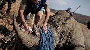 Condenan a irlandés en EEUU por traficar un cáliz de cuerno de rinoceronte