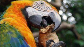 Guacamayas de Costa Rica en peligro de desaparecer