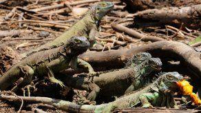 Islas Caimán lanza programa para reducir número de iguanas