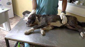 Perro en estado crítico tras recibir un machetazo en Colón