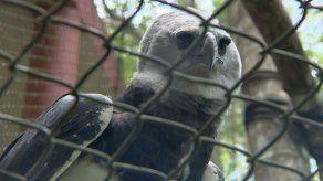 MiAmbiente pide al MP y DIJ iniciar investigación de oficio por supuesto maltrato a un águila harpía