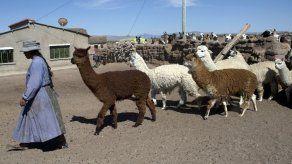 El mundo perdido de un pastor de llamas en los Andes