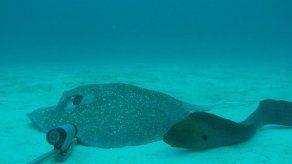 Las morenas alteran el equilibrio de arrecifes en el Caribe