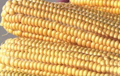 Chicago: maíz sube impulsado por demanda