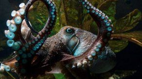 El pulpo Inky se fuga del acuario de Nueva Zelanda