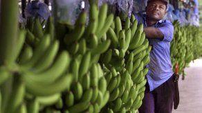 Panamá exporta 46 mil libras de plátano a EEUU