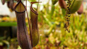 Cerca de 500 plantas carnívoras se expondrán en el Jardín Botánico de Bogotá