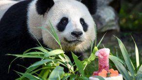 El bebé panda Yuan Meng celebra su primer cumpleaños en un zoo de Francia