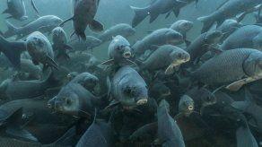 Miles de especies de peces de agua dulce en peligro de extinción