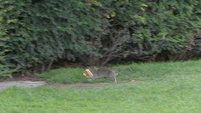 Ratas se pasean en los jardines del Louvre