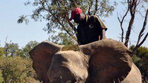Elefantes sobresalen en detección de explosivos