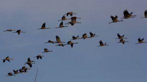 Panamá celebra el Día Internacional de las Aves Migratorias