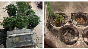 Aprehenden a extranjero que mantenía en un apartamento de San Francisco 12 plantones de marihuana