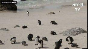 Clima y sobrepesca amenazan la existencia del pingüino de El Cabo