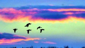 El número de aves migratorias ha disminuido por cambio climático