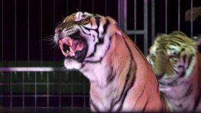 Domador de circo muere atacado por sus tigres en el sur de Italia