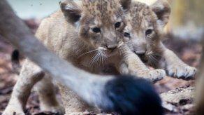 Zoológico de Fráncfort presume cachorros de león
