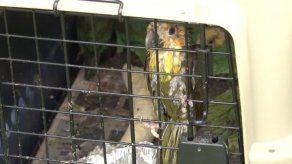Rescatan en Chiriquí varios pericos que iban a ser vendidos ilegalmente