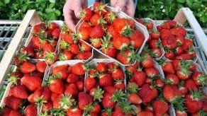 Científicos argentinos logran extender en un 50% vida útil de las fresas