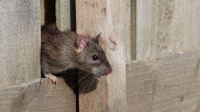 Policías argentinos culpan a ratas adictas por desaparición de 540 kg de marihuana