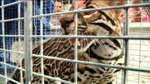Capturan tigrillo en Barraza