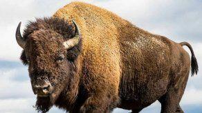 El bisonte americano busca recuperar sus dominios en el norte de México