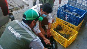 Un policía detenido por tráfico de 185 crías de tortuga gigante de Galápagos