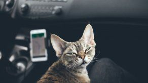 Viajar en carro con gatos ¿Qué llevar? y ¿Qué medidas tomar?